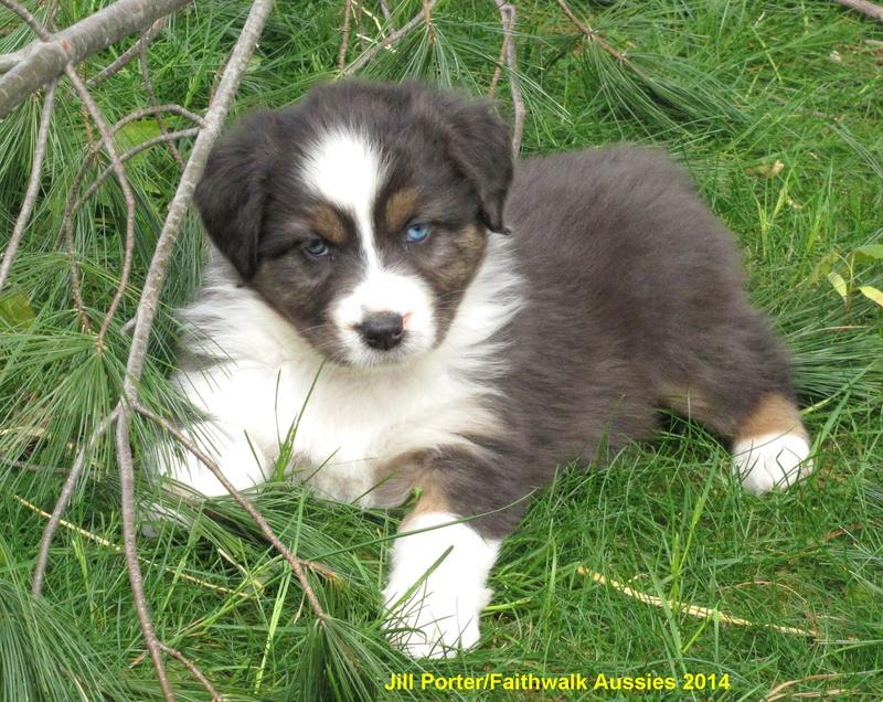 White Australian Shepherd Blue Eyes