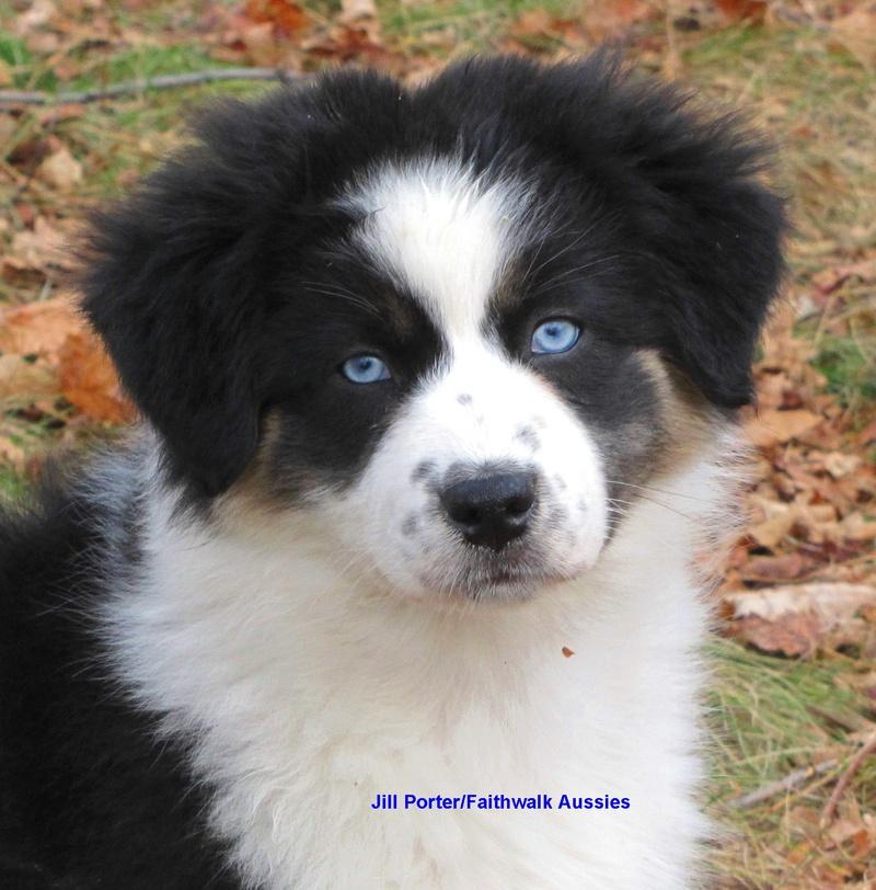 Black And White Australian Shepherd With Blue Eyes