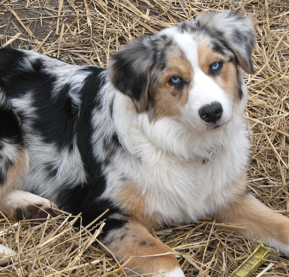 Image result for blue merle  with blue eyes