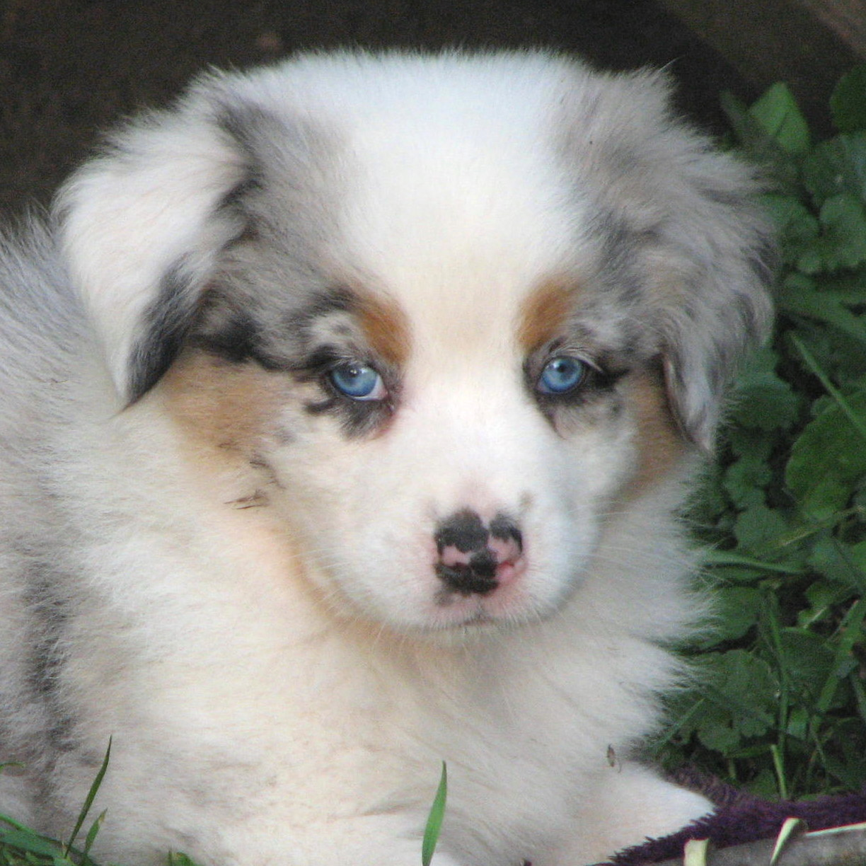 Faithwalk Aussies - Eyes, Pigment, Markings Blue Nose Pitbull Newborn Puppies