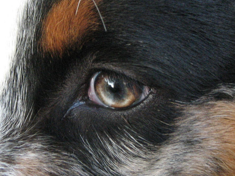 Cerf Eye Test For Dogs